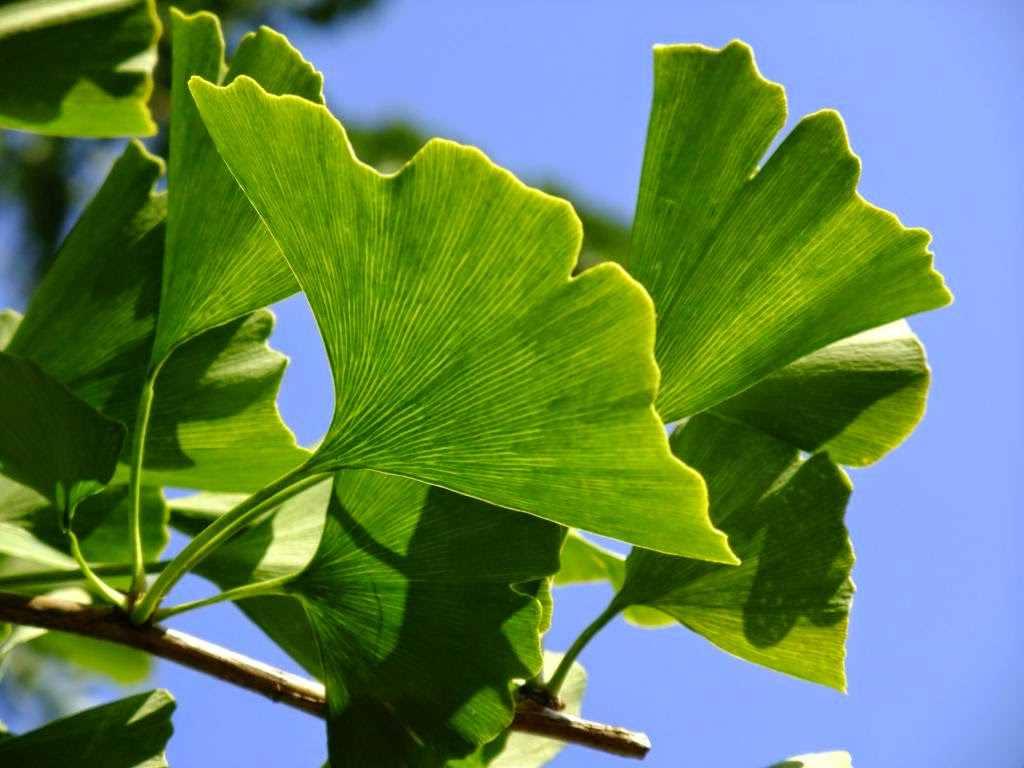 Применение листьев гинкго билоба в домашних условиях
