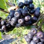 Брага из черноплодной рябины для самогона: рецепт в домашних условиях