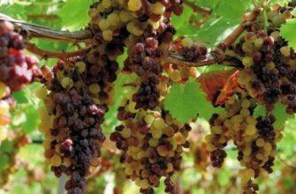 Пассито – итальянское вино из изюма в домашних условиях 29