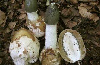 Настойка гриба веселка - изготовление и применение 52